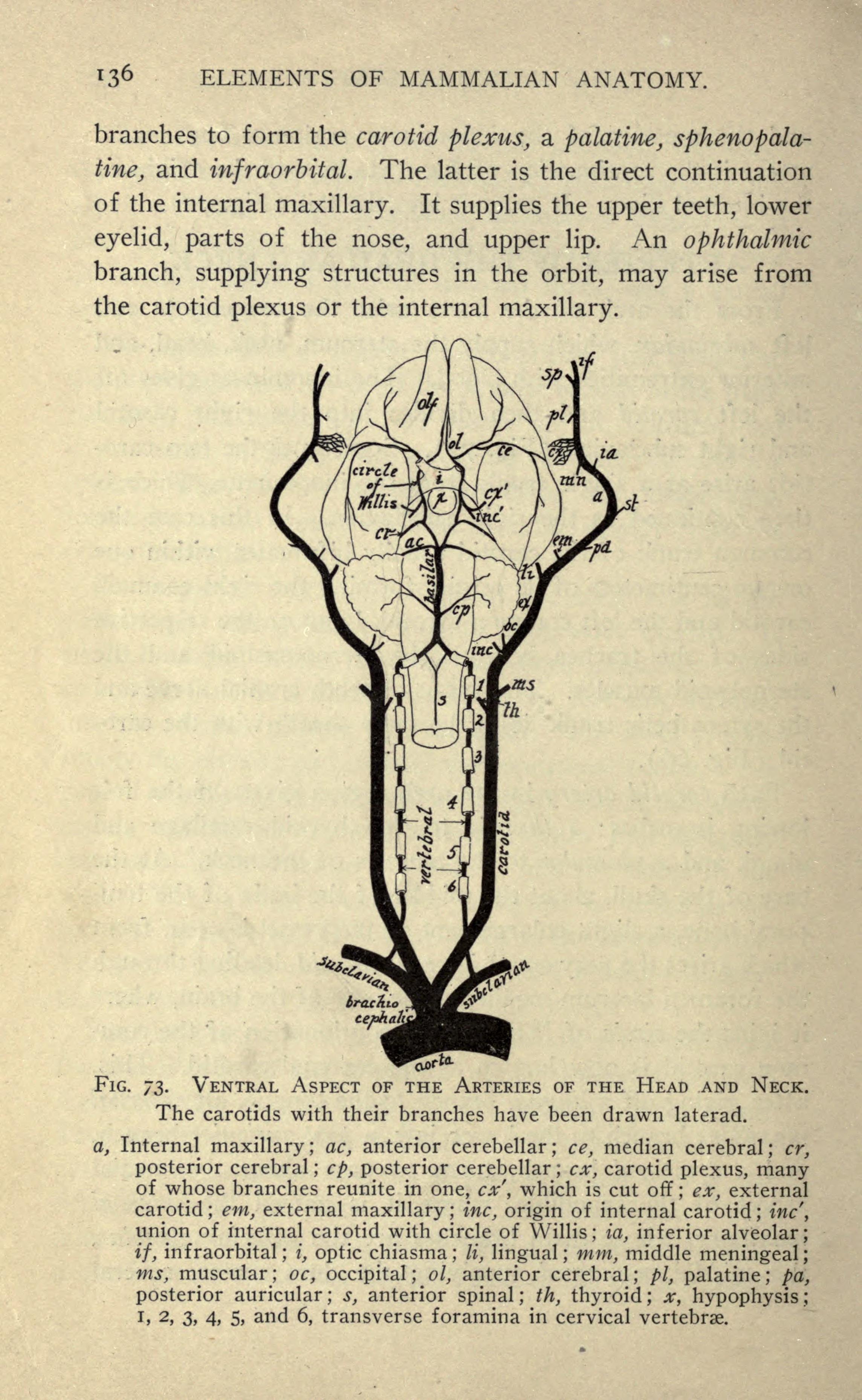 File:Mammalian anatomy (Page 136) BHL18735579.jpg - Wikimedia Commons