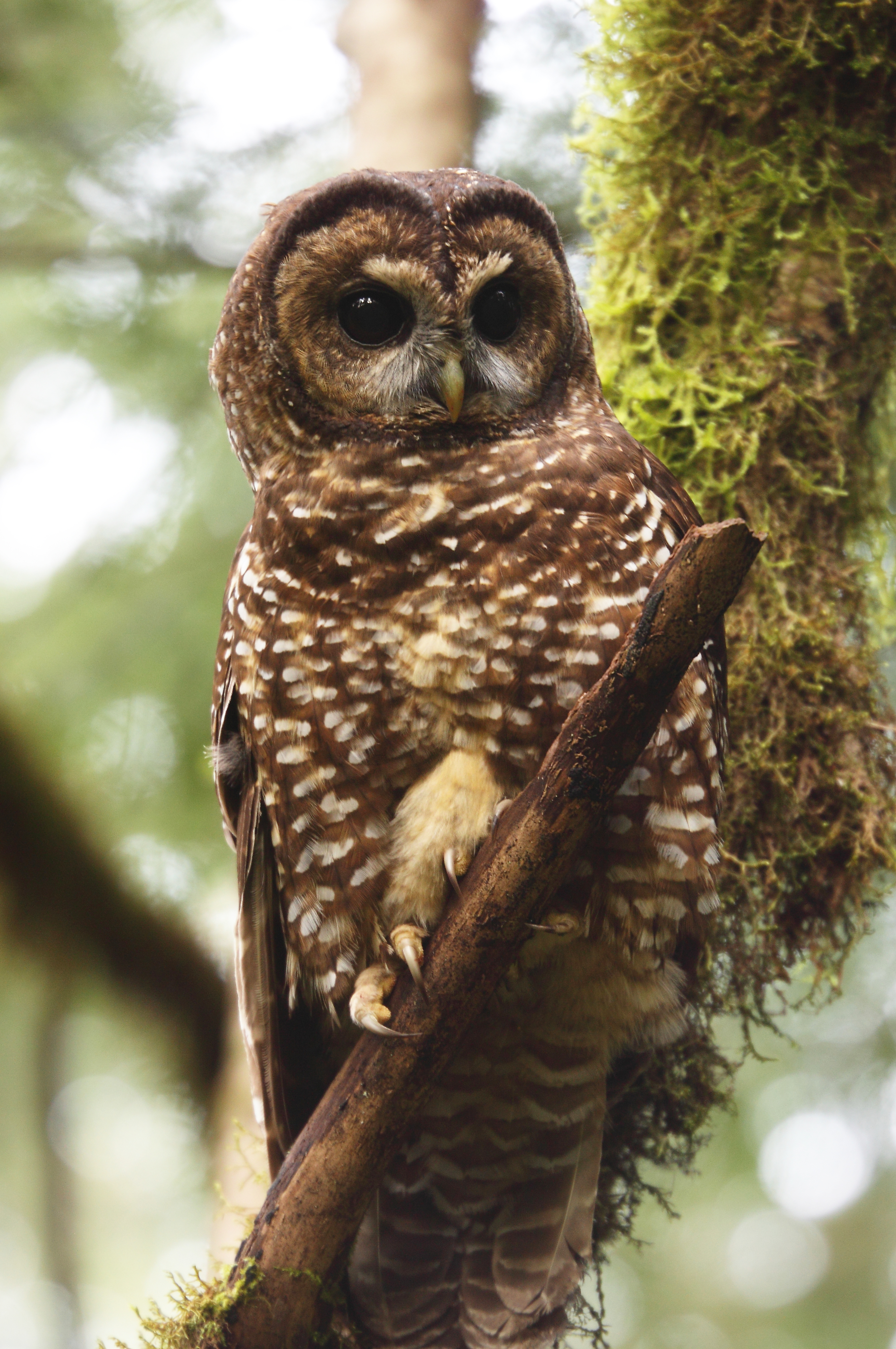 an overview of the northern spotted owl Northern spotted owl  the northern spotted owl is one of three spotted owl subspecies found in north america  northern spotted owl (strix occidentalis caurina.