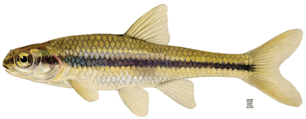 Bridle shiner wikipedia for Maine freshwater fish