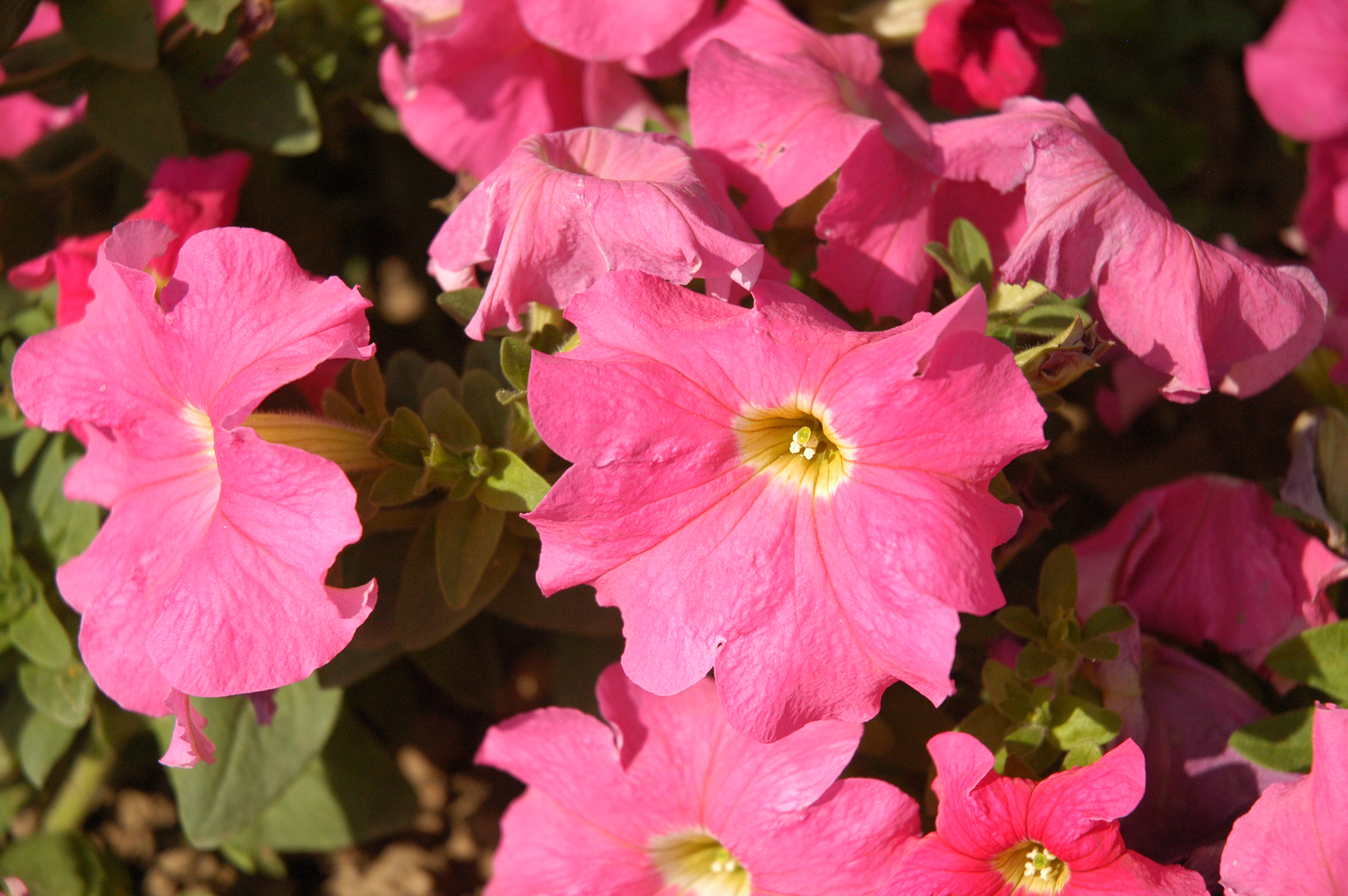 Filepink Flowers In Chinag Wikimedia Commons