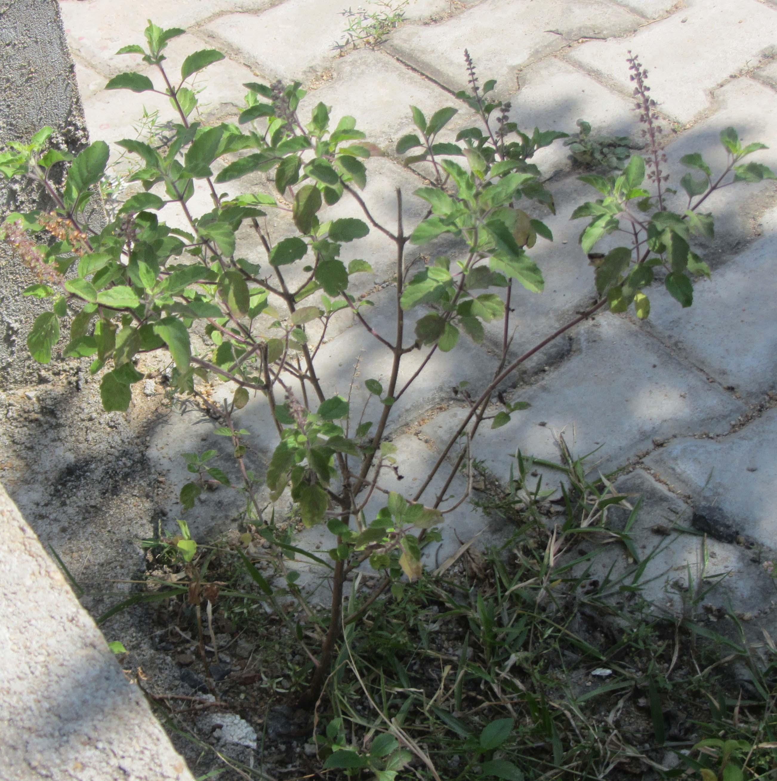 Plant holy basil.jpg