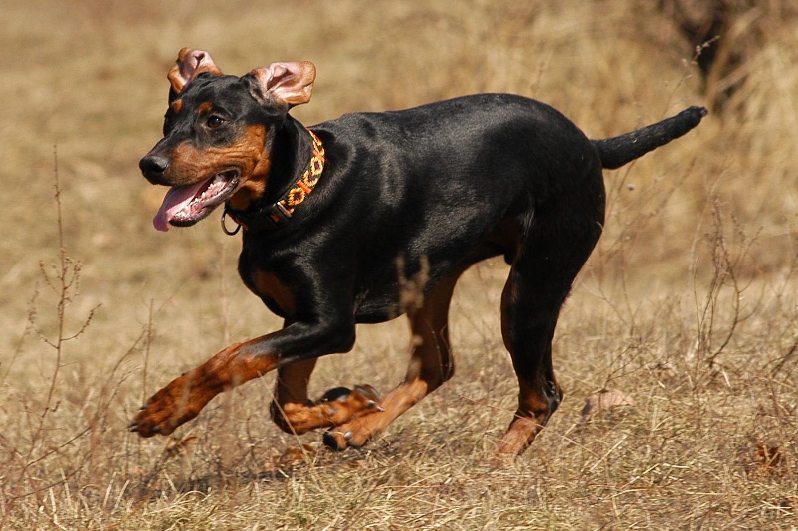 Non Shedding Small Dogs Australia