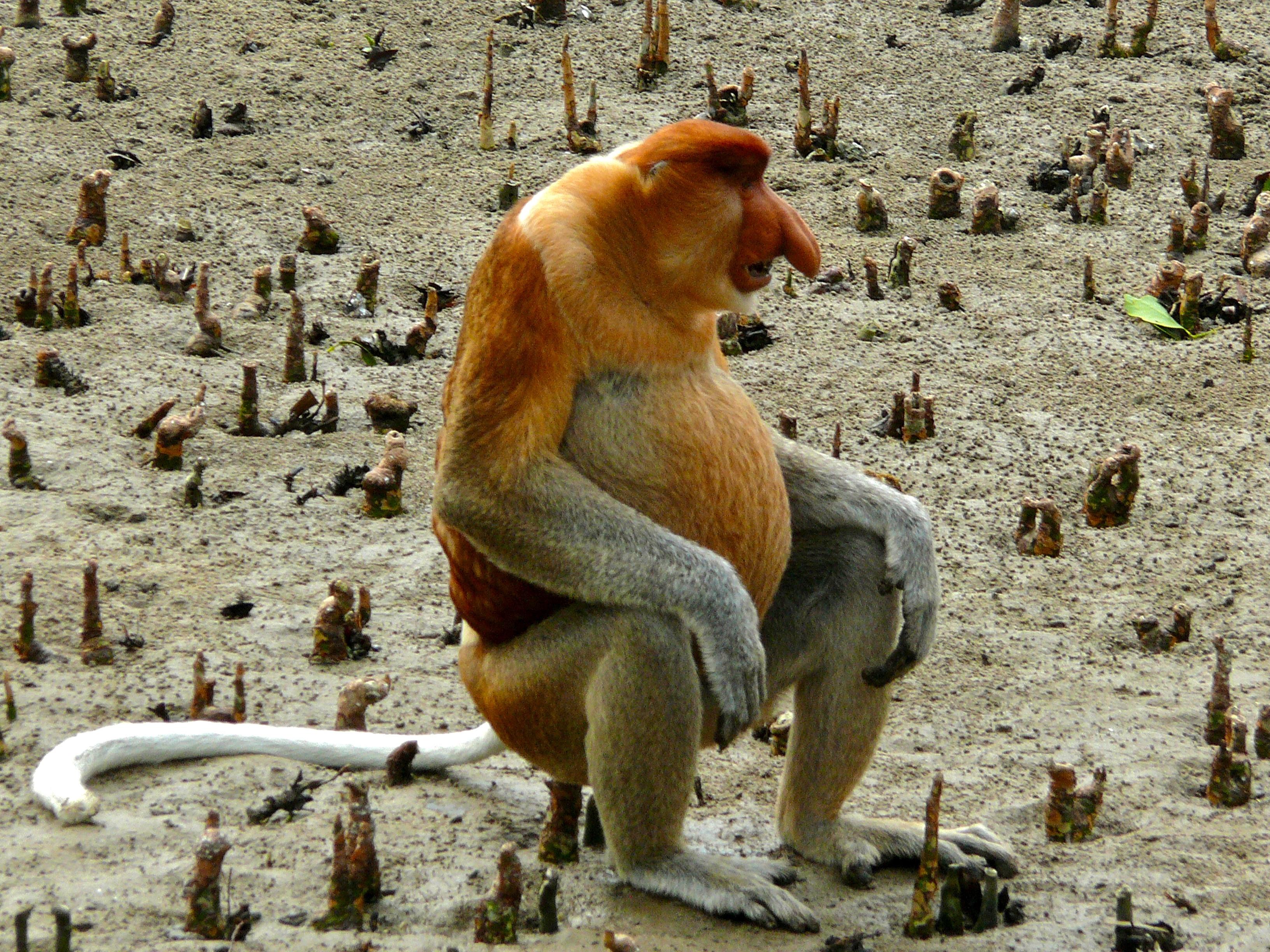 File:Proboscis Monkey (Nasalis larvatus) male (6707344031).jpg - Wikimedia  Commons