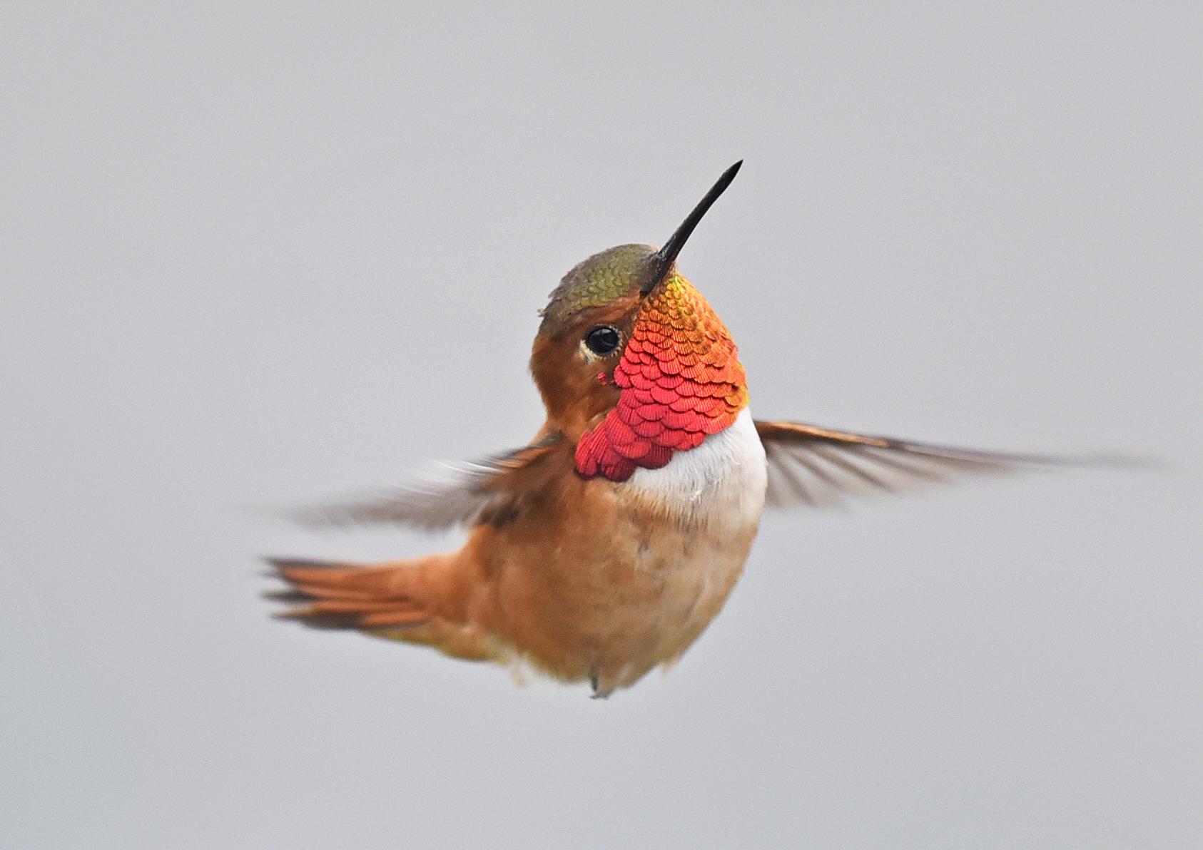 Vorhenyes Kolibri Wikipedia