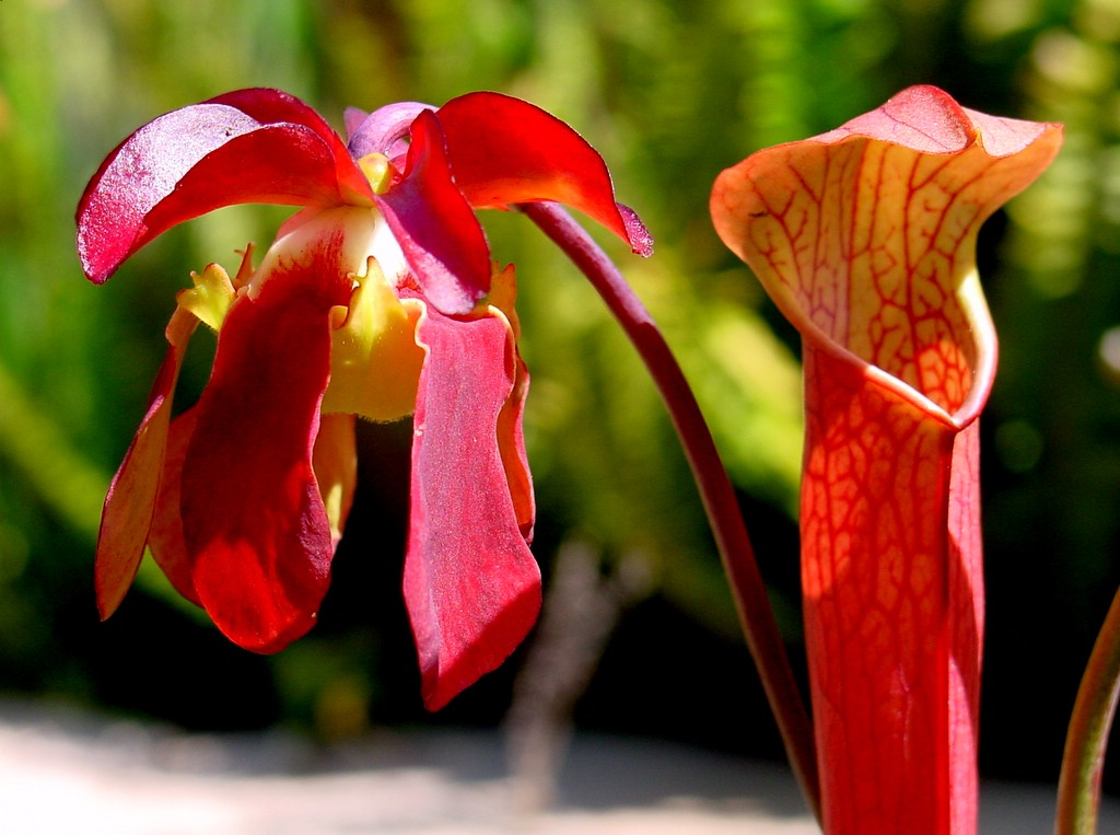 Sarracenia rubra wikipedia for Plante carnivore