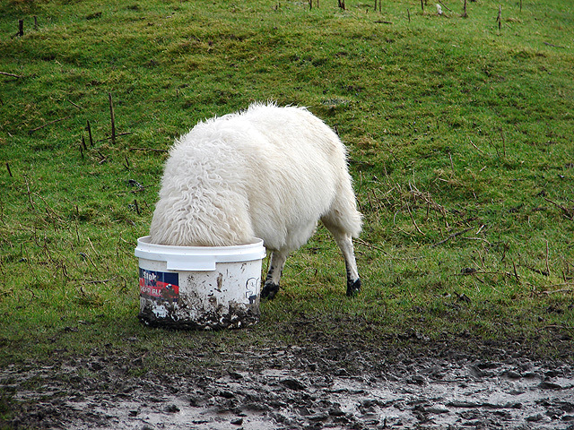 Sheep's head in a bucket - geograph.org.uk - 296062