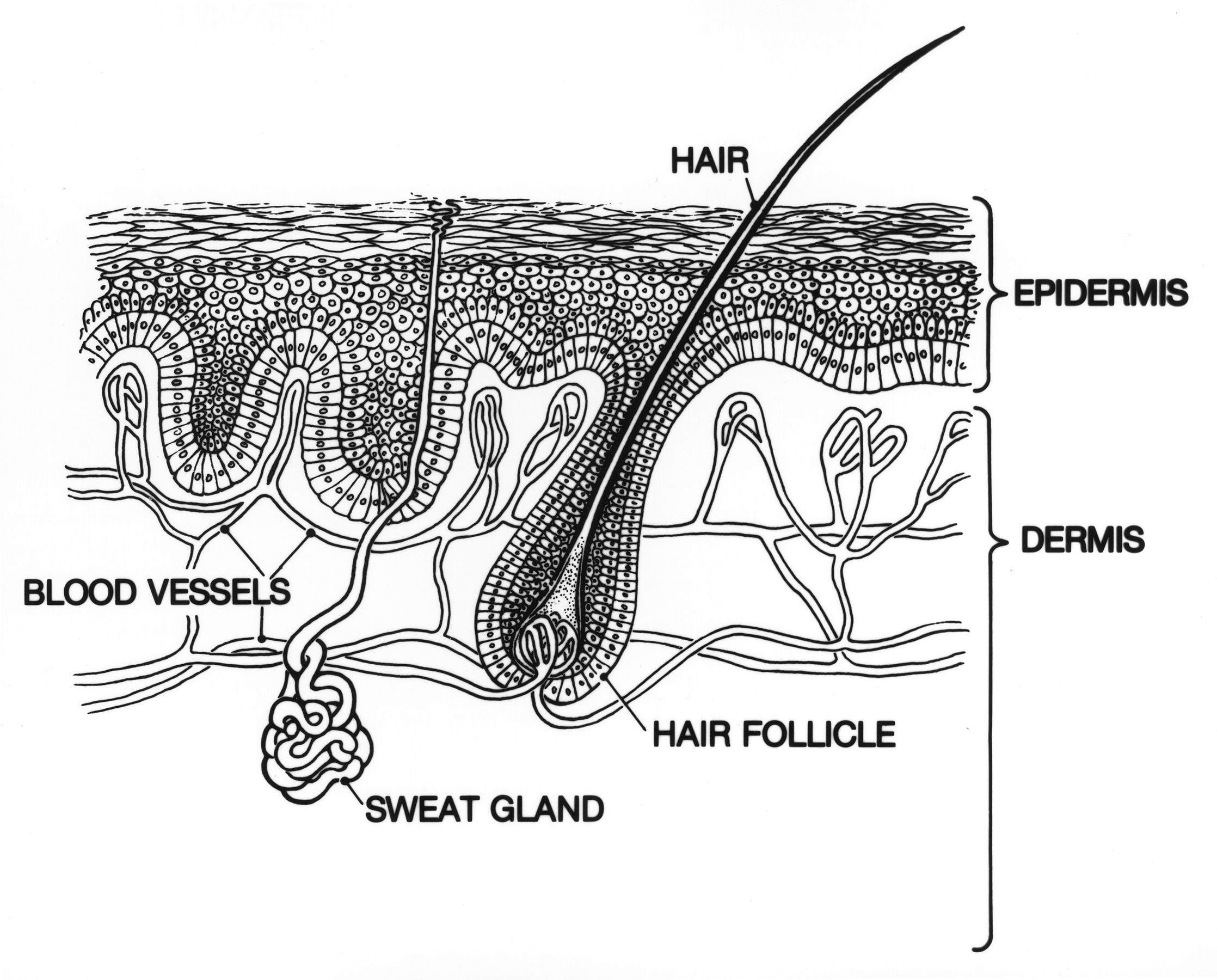 file skin- epidermis and dermis jpg