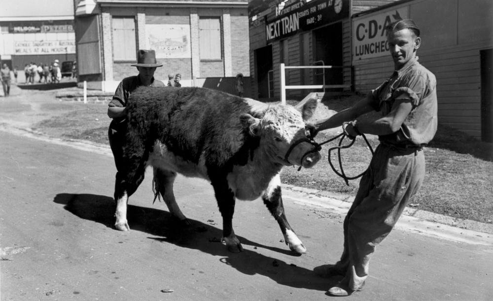 StateLibQld 2 206941 Stubborn young Hereford being unwillingly lead by his attendant, RNA Show, Brisbane, 1940