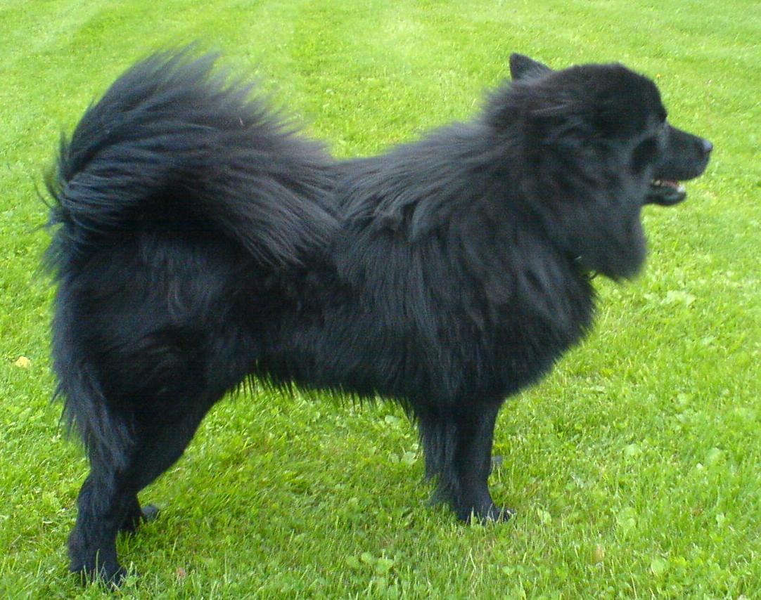 Zweedse lappenhond - Dog Scanner