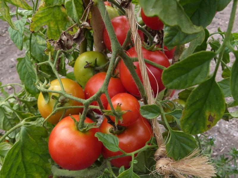 Résultats de recherche d'images pour « tomate sub artic plenty »