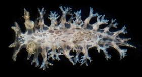 <i>Tritonia bayeri</i> species of mollusc