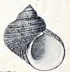 <i>Turbo moluccensis</i> species of mollusc