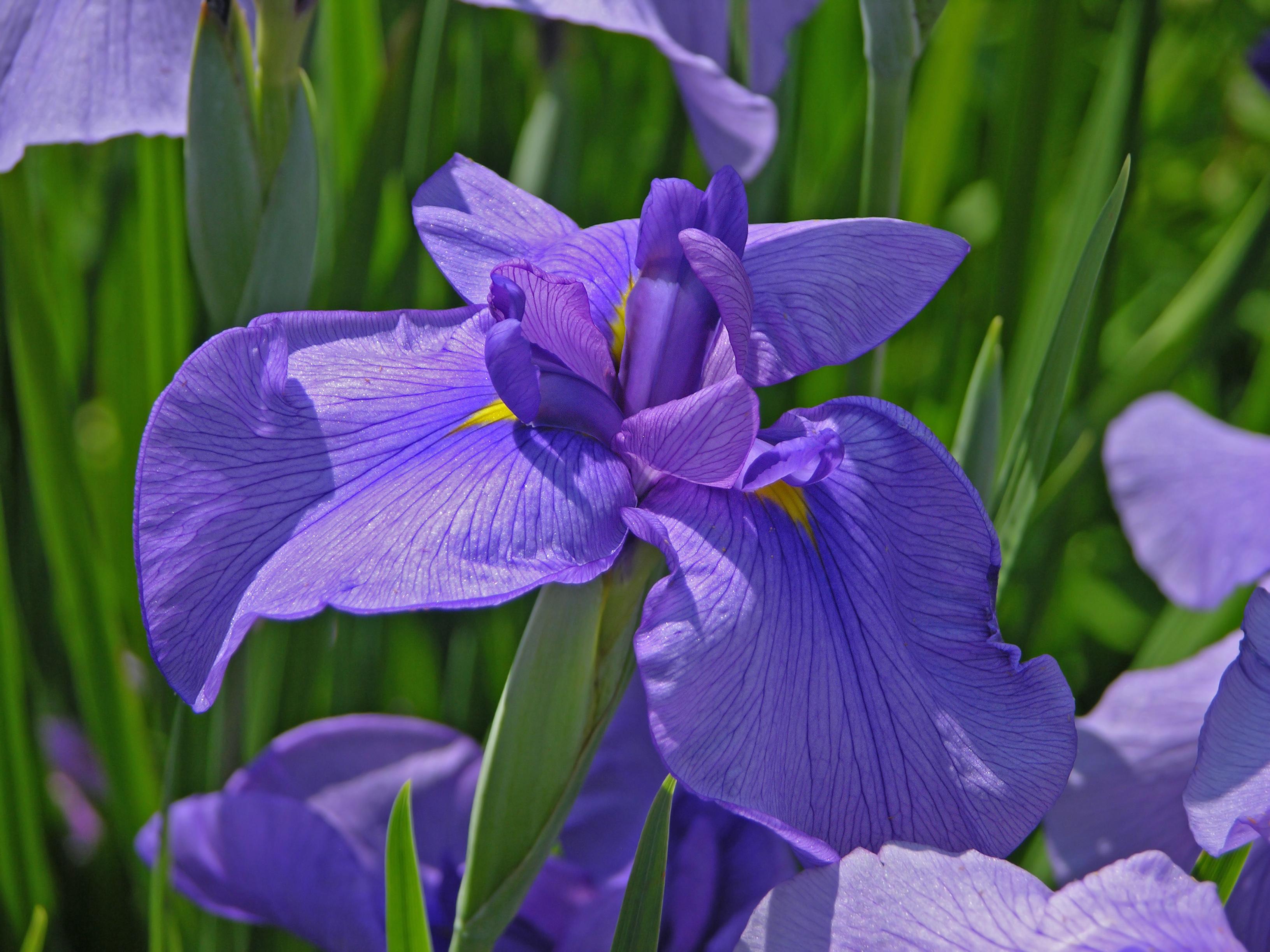 Iris l httpuploadmediawikipediacommons00funidentifiedirischanticleerblue3264pxg izmirmasajfo