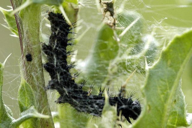 Bộ sưu tập cánh vẩy 6 - Page 11 Vanessa.cardui.caterpillar