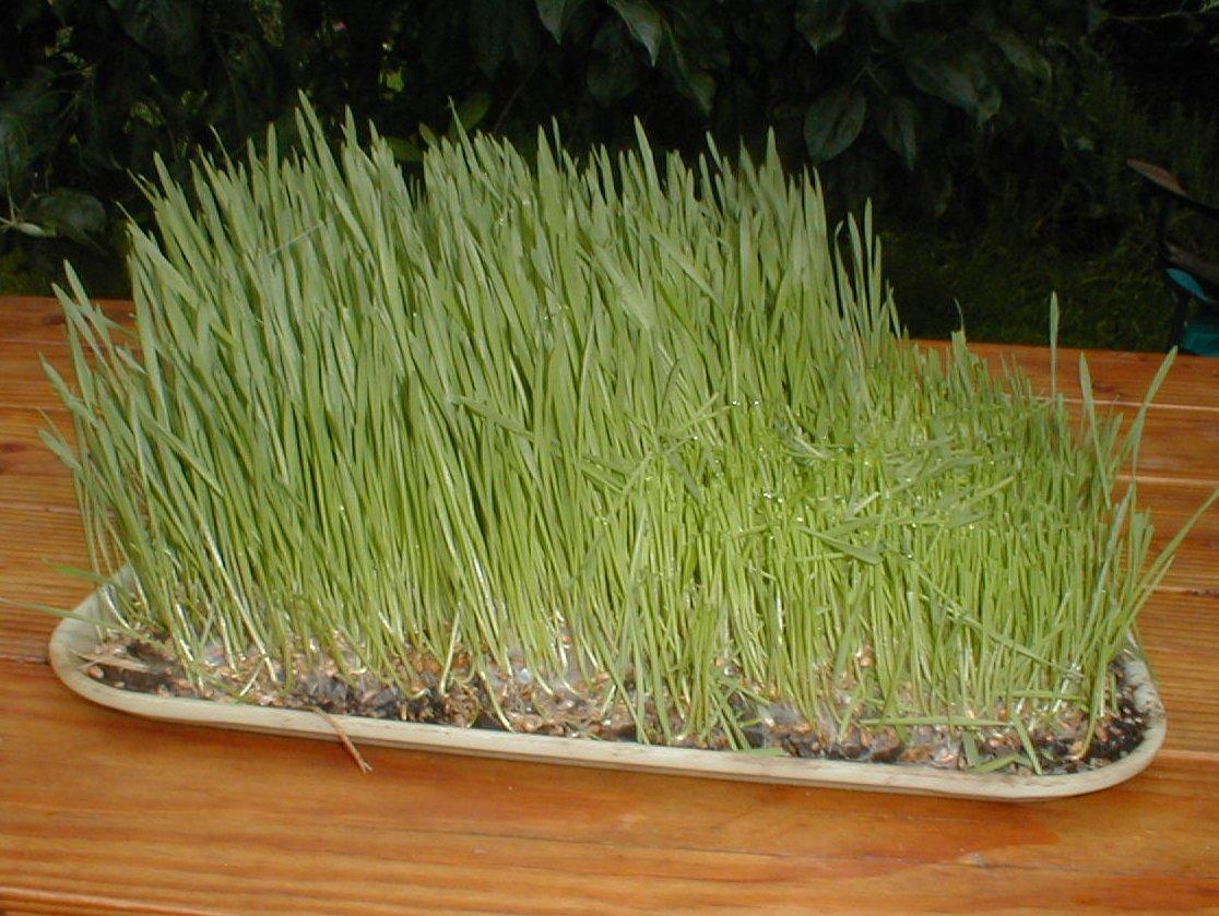 Wheat grass - Wikimedia Commons