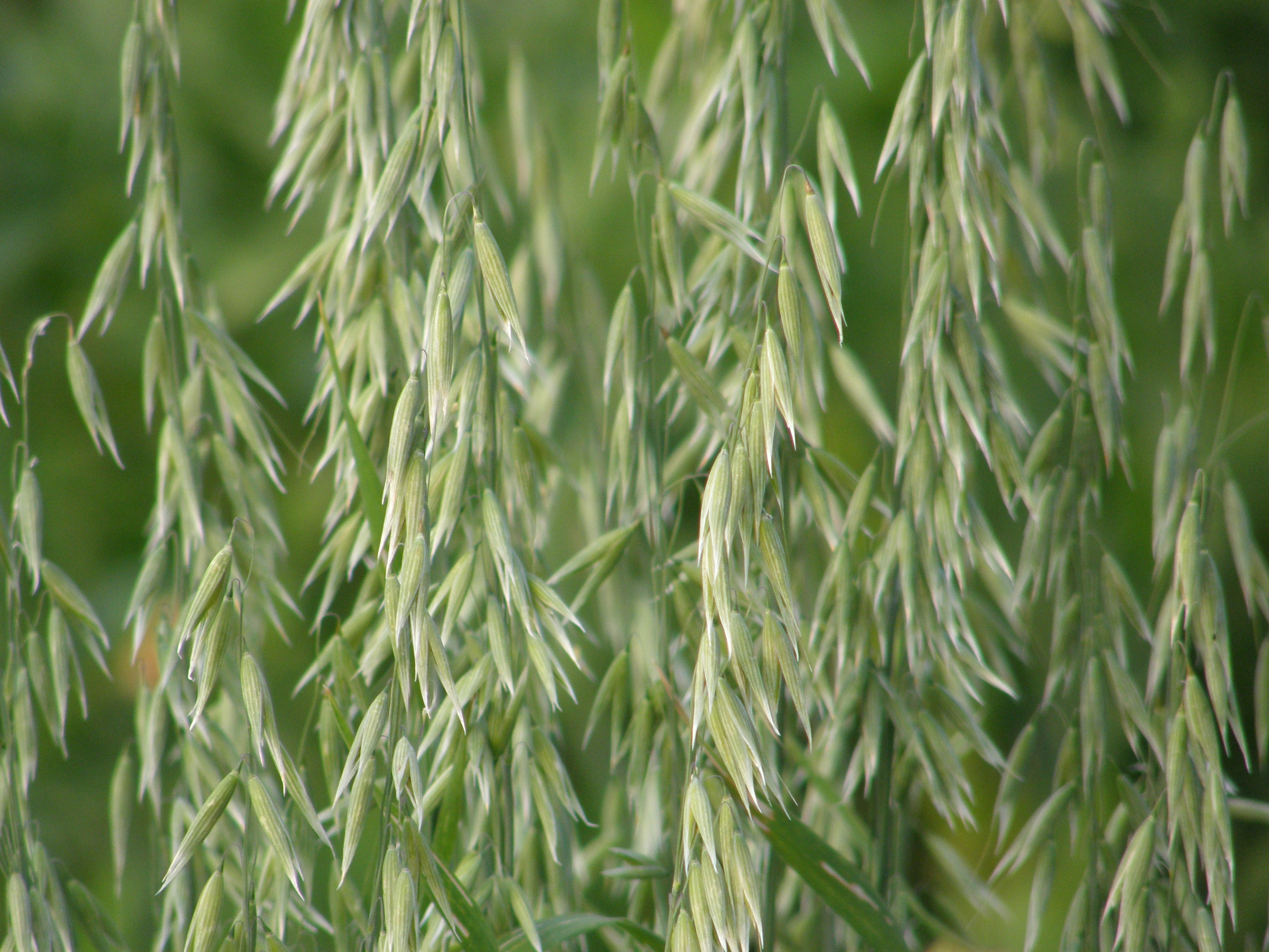 what is oats in hindi