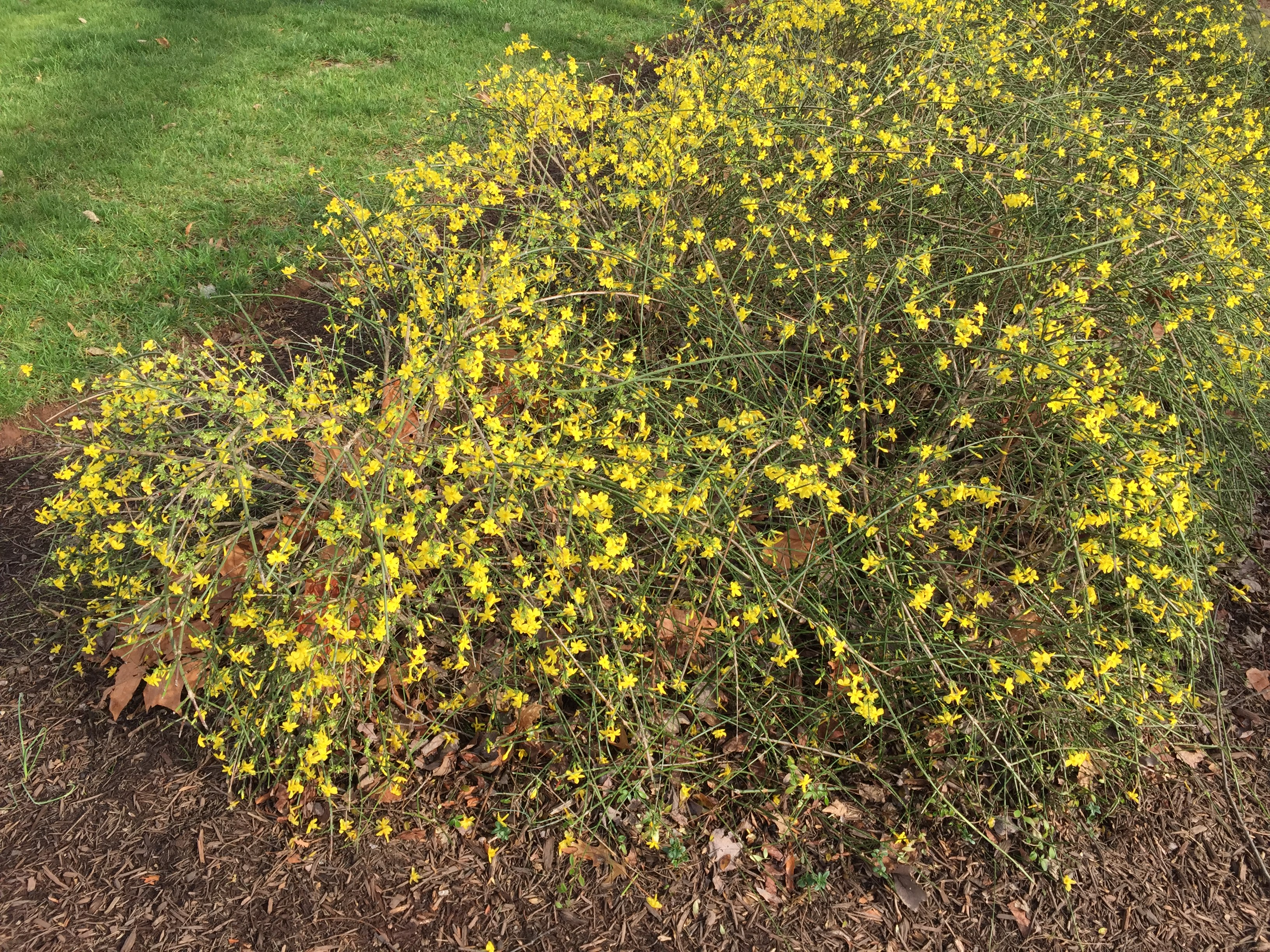 File2015 12 27 13 56 15 Winter Jasmine Blooming At The Franklin