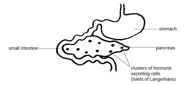Anatomy and physiology of animals The pancreas.jpg