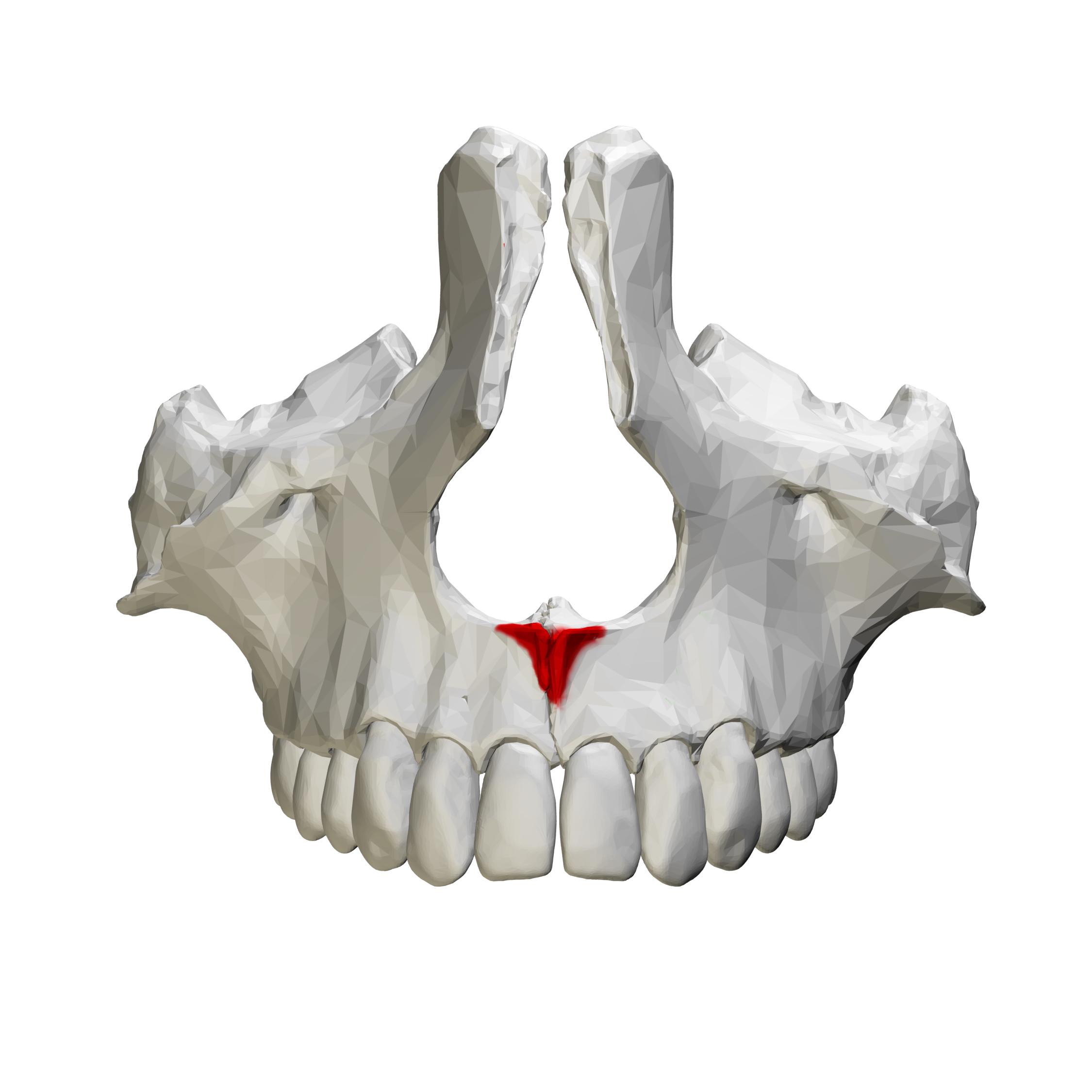 fileanterior nasal spine of maxilla close up anterior viewpng