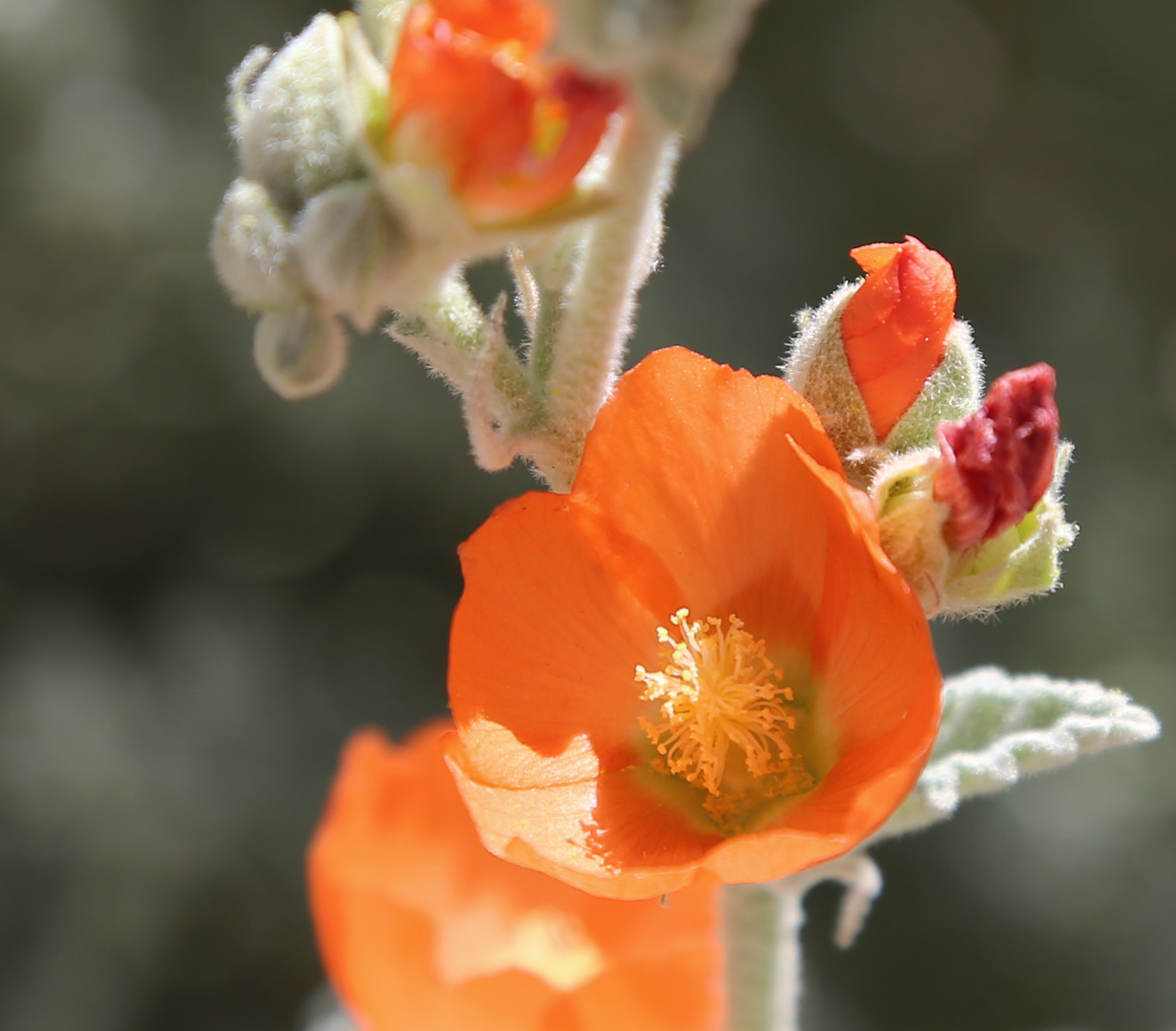 File Apricot Mallow Flower Closeup Wikimedia