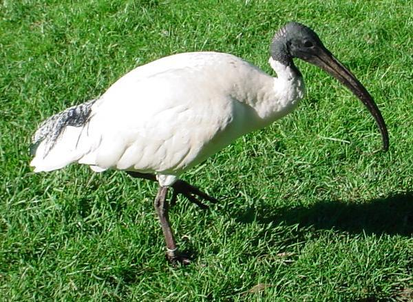 ibisse – wikipedia