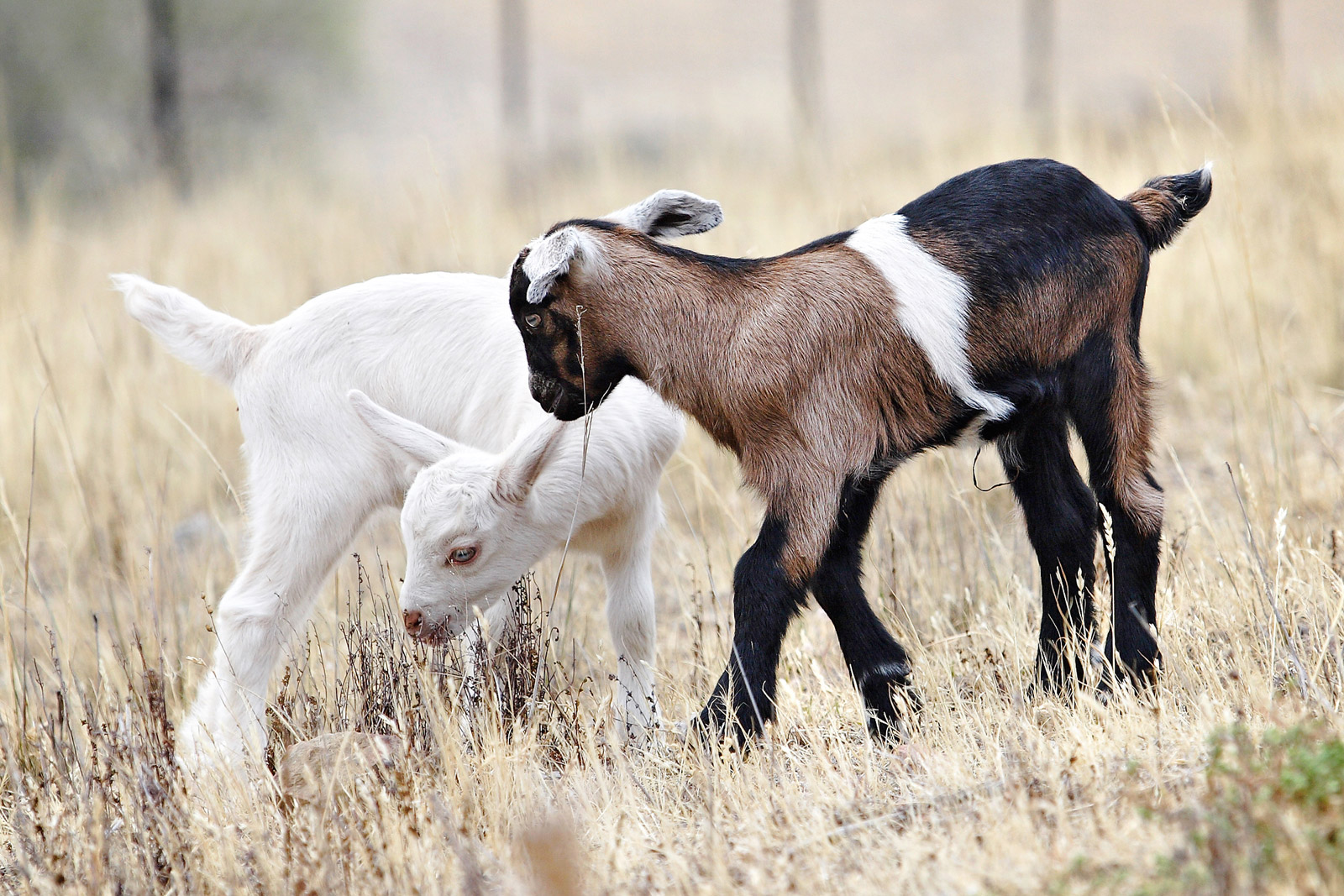 Wikipedia:Featured picture candidates/Baby goats - Wikipedia, thebaby goats