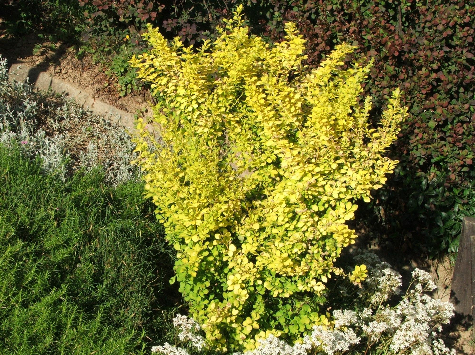 Декоративный лиственный кустарник с округлой кроной до 0,8 м высотой, диаметр кроны 1 м. Долговечность 50 лет.