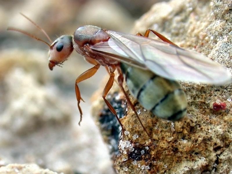 File:Camponotus crispulus queen ant.jpg - Wikimedia Commons