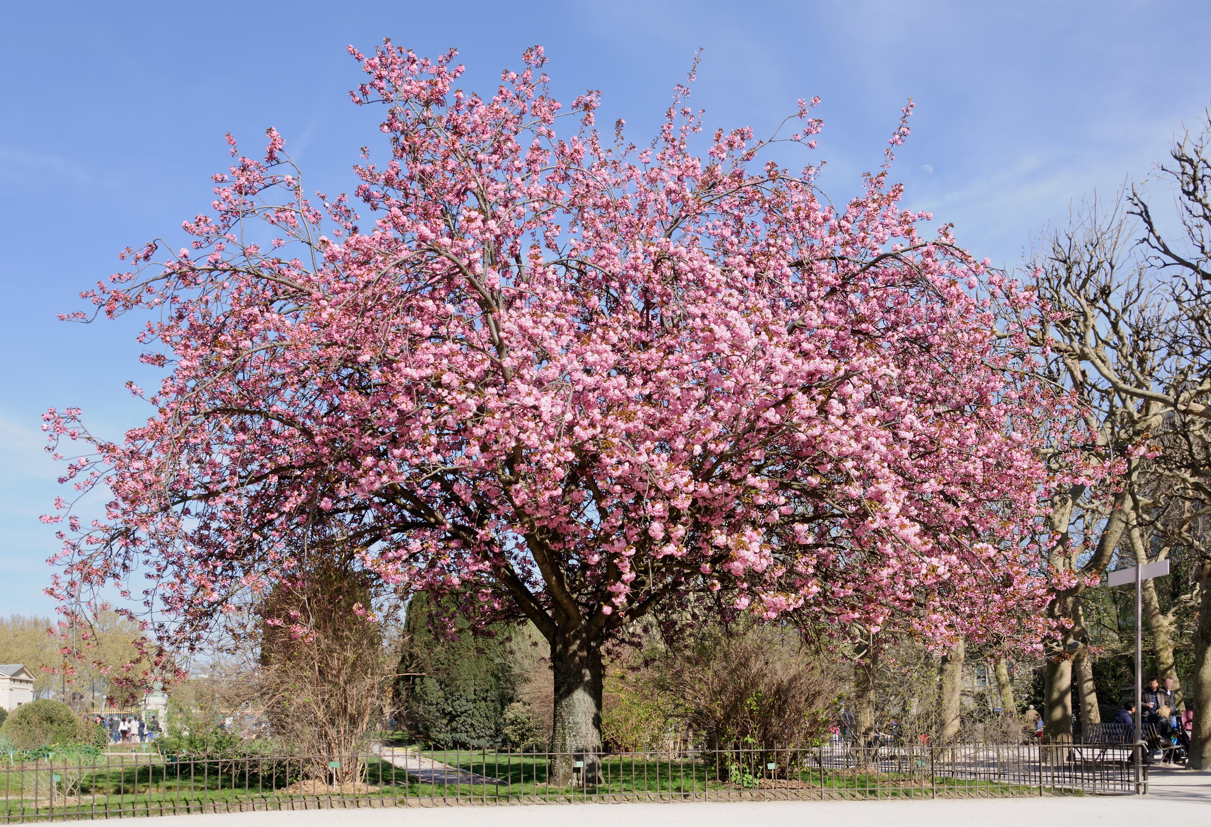 Hauteur Cerisier Du Japon prunus serrulata — wikipédia