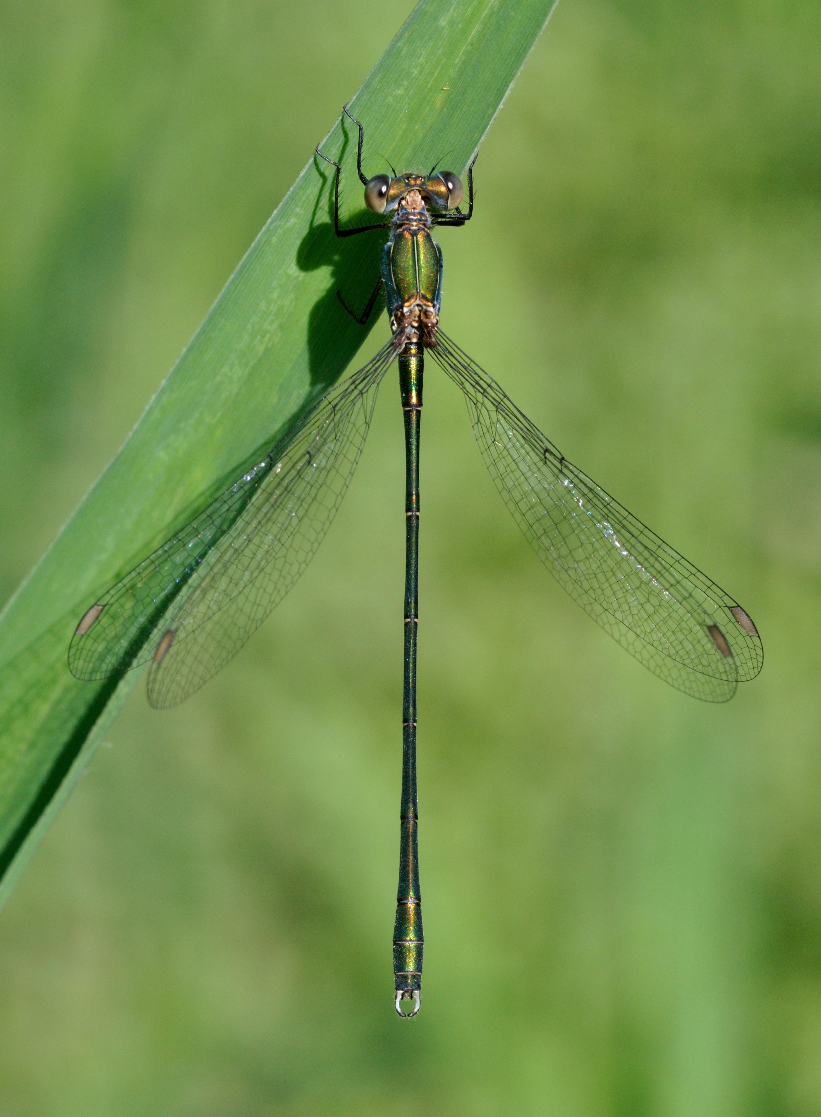 File:Chalcolestes viridis qtl2.jpg - Wikimedia Commons