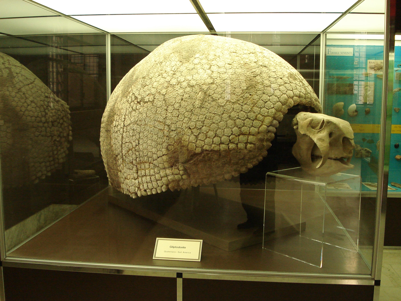 File dsc01699 gliptodonte quaternario museo di storia for 1 1 2 casa di storia