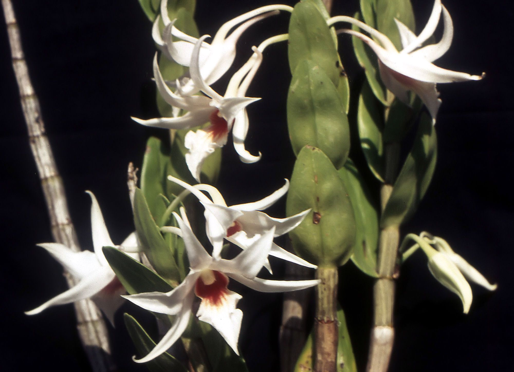http://upload.wikimedia.org/wikipedia/commons/1/10/Dendrobium_draconis_Orchi_002.jpg