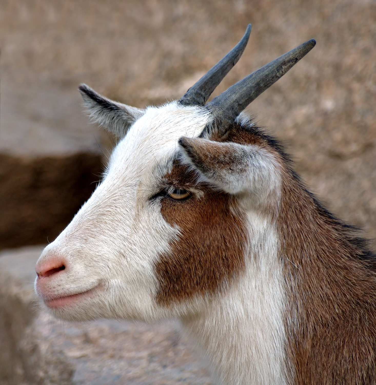Goats Y File:Domestic Goat Por...