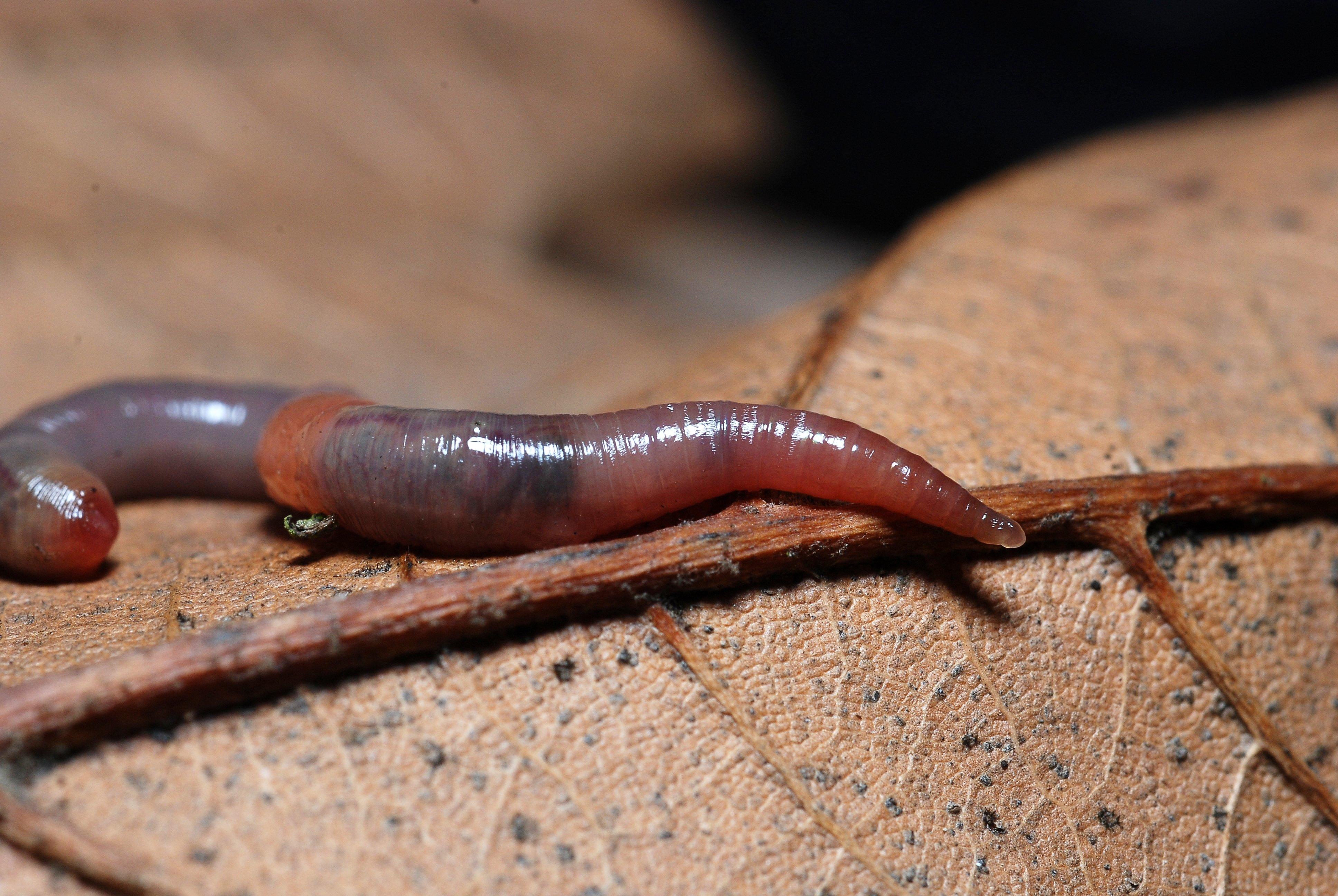 Кольчатые черви гермафродиты Всё