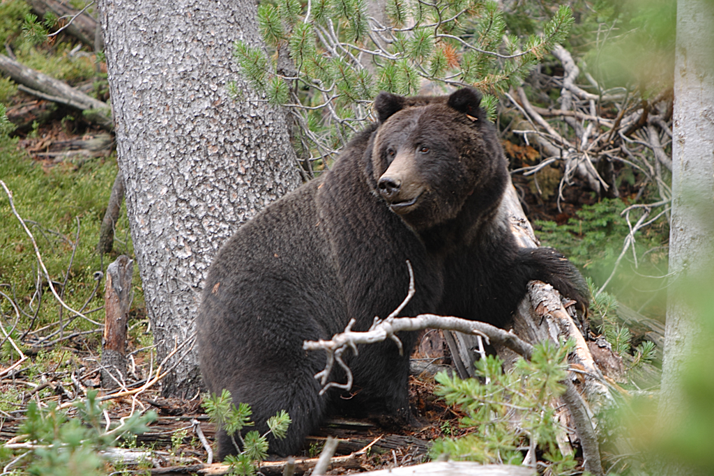 Bear attack - Wikipedia