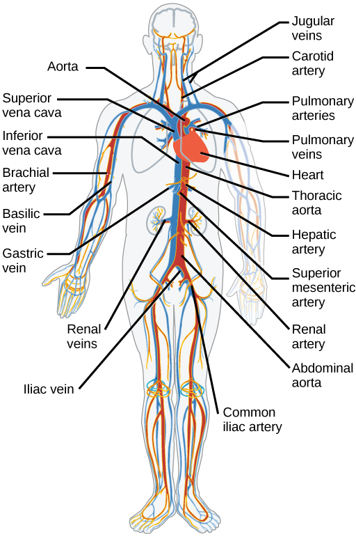 where do the inferior and superior vena cava meet