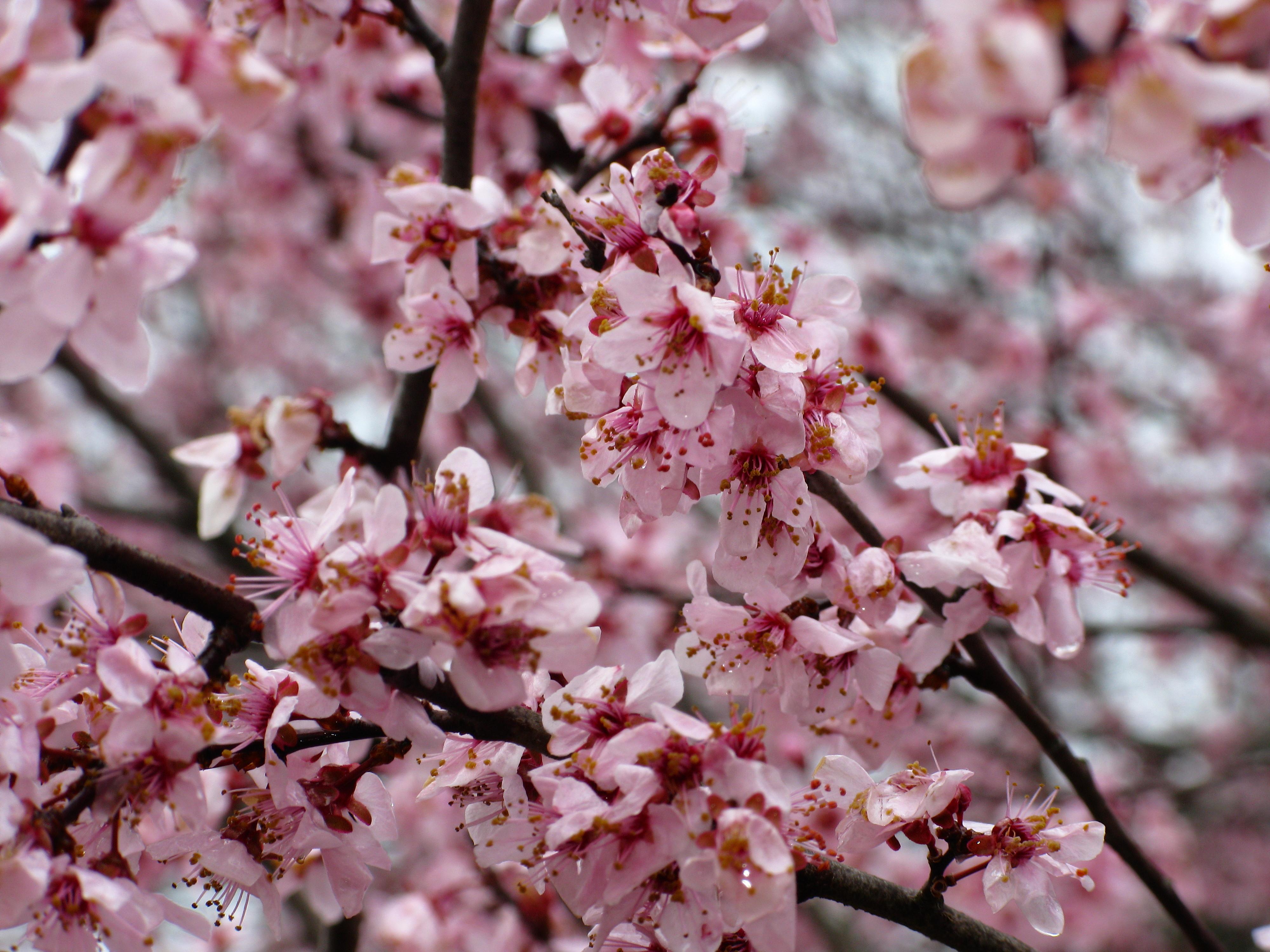 File Flowering plum tree spring West Virginia ForestWander