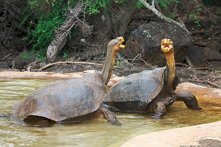 Espanola Galapagos Riesenschildkröte Chelonoidis hoodensis