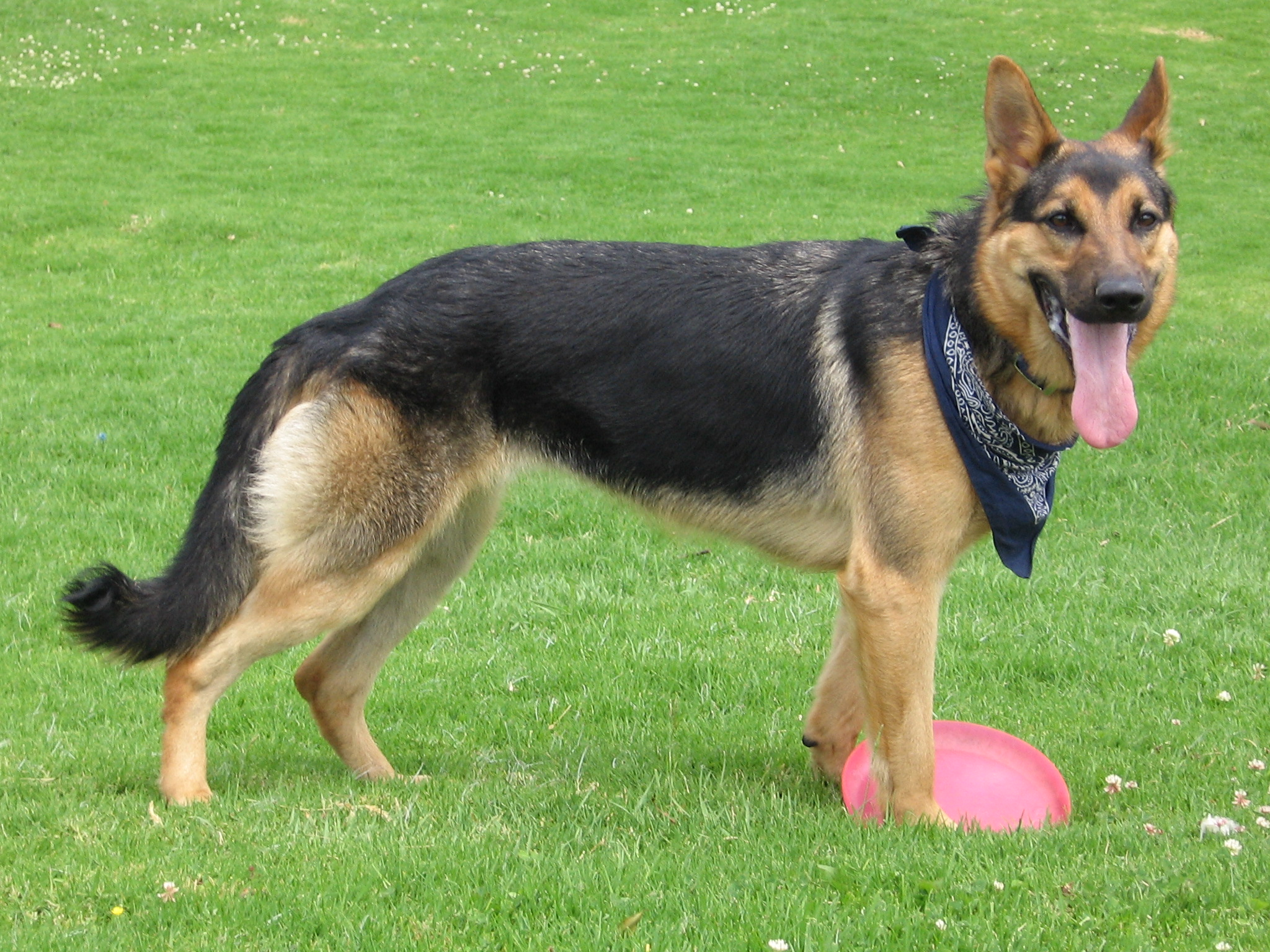 描述 German Shepherd Dog with disc.jpg
