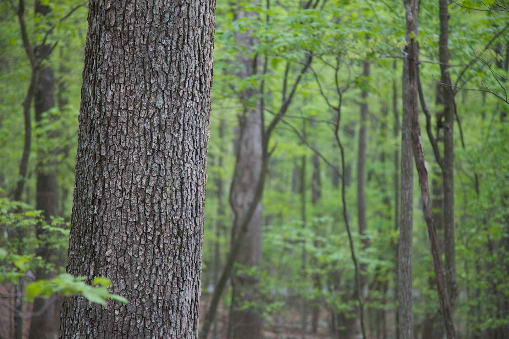 File hardwood trees in forest g wikimedia commons