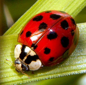 jpeg image, female lady beetle, Asian lady bee...