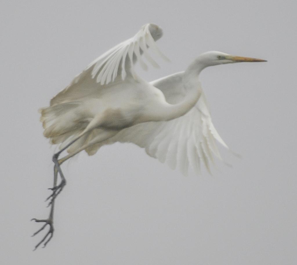 INaturalist_egret.jpg