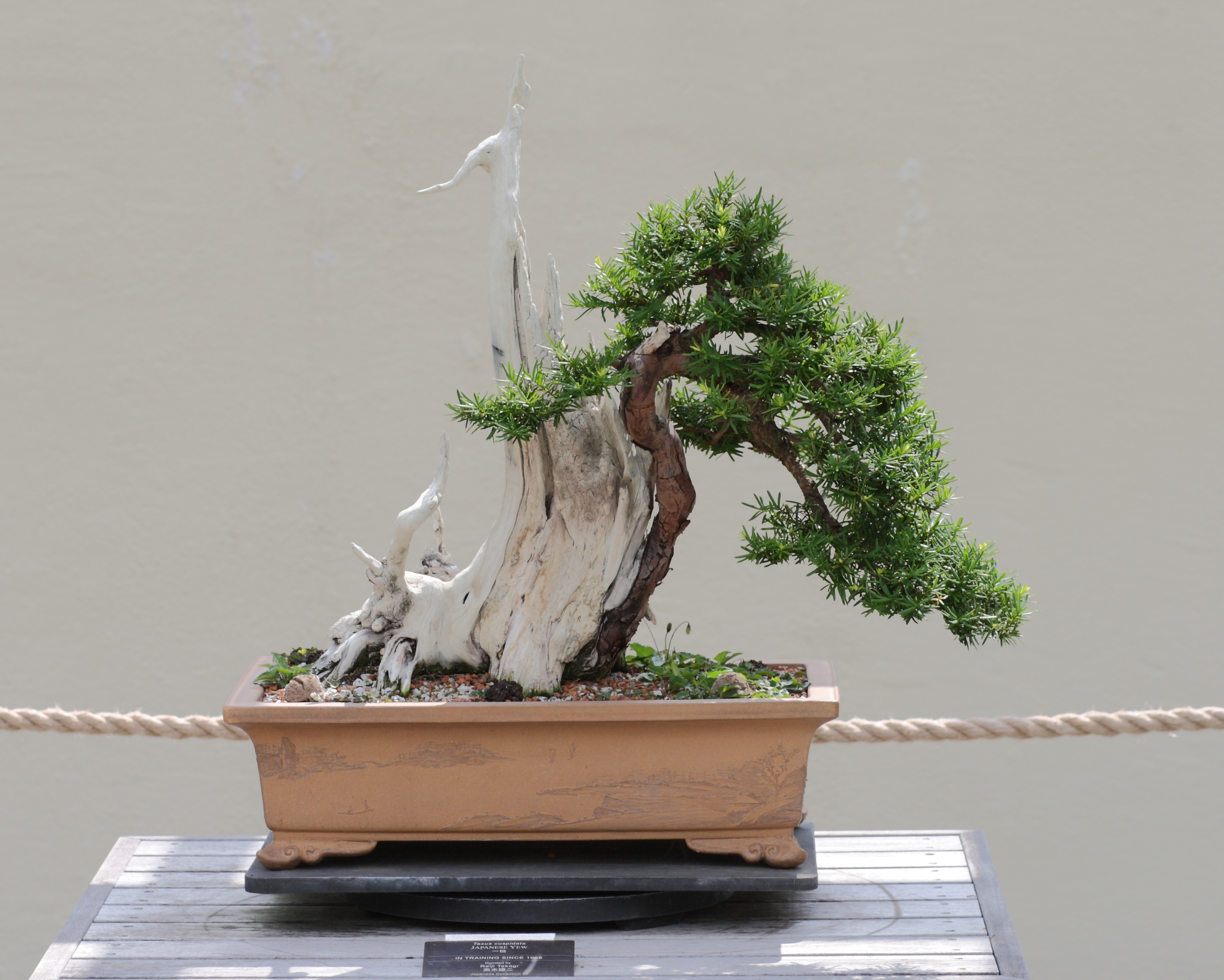 File Japanese Yew Bonsai 2011 05 29 Jpg Wikimedia Commons