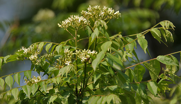 ଫାଇଲ:Kadi Patta (Murraya koenigii) flowers & leaves at Jayanti, Duars W Picture 167.jpg
