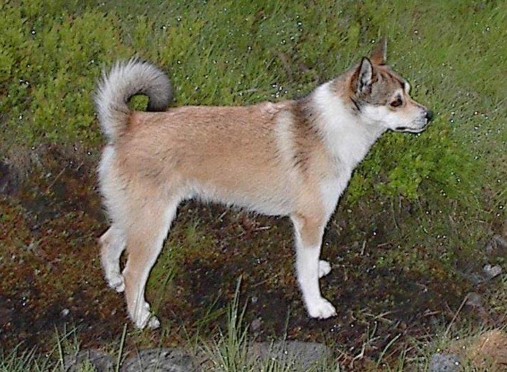 spidshund