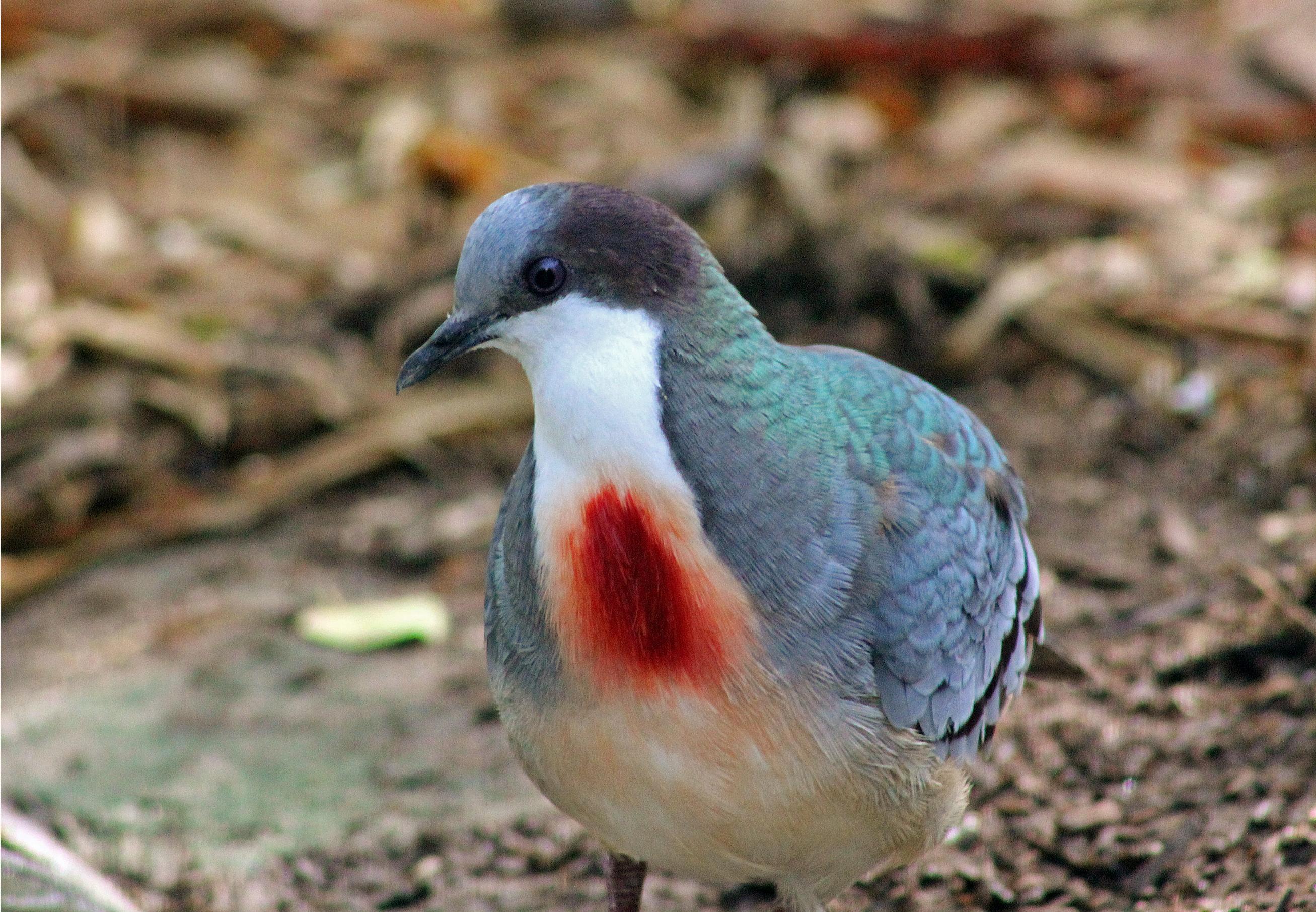 File Mindanao Bleeding Heart Dove 6951813978 Jpg