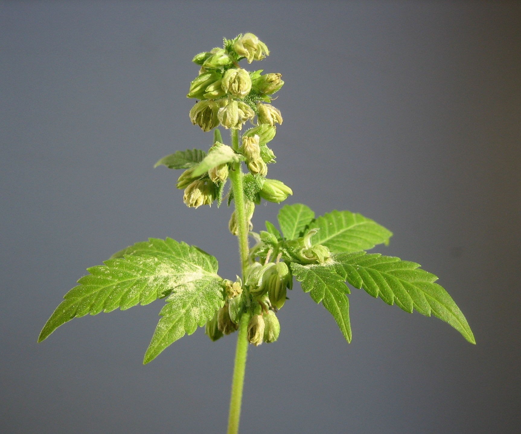File male hemp for Cannabis floraison exterieur