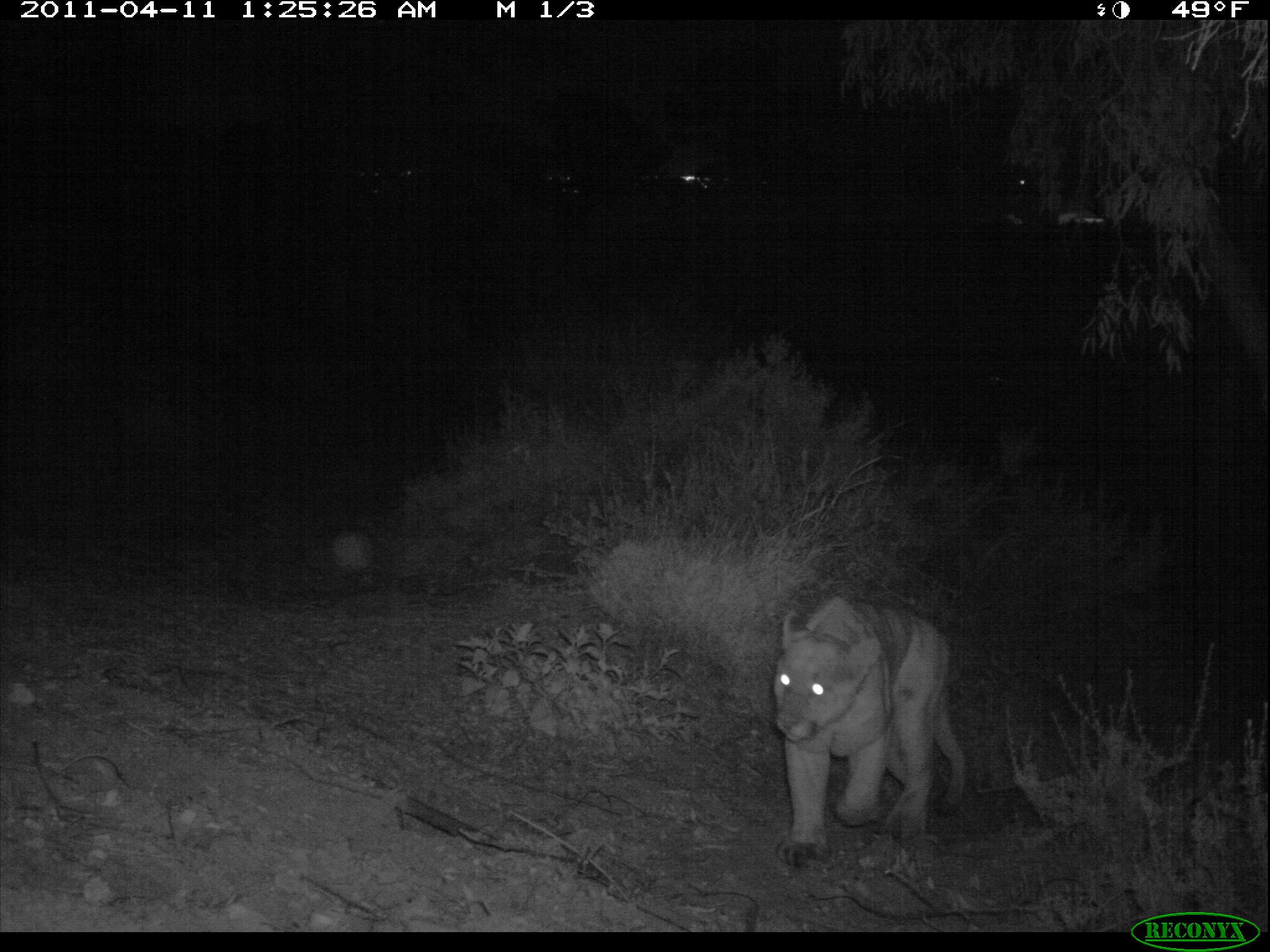 File:Mountain Lion Roaming at Night (11425790463) jpg
