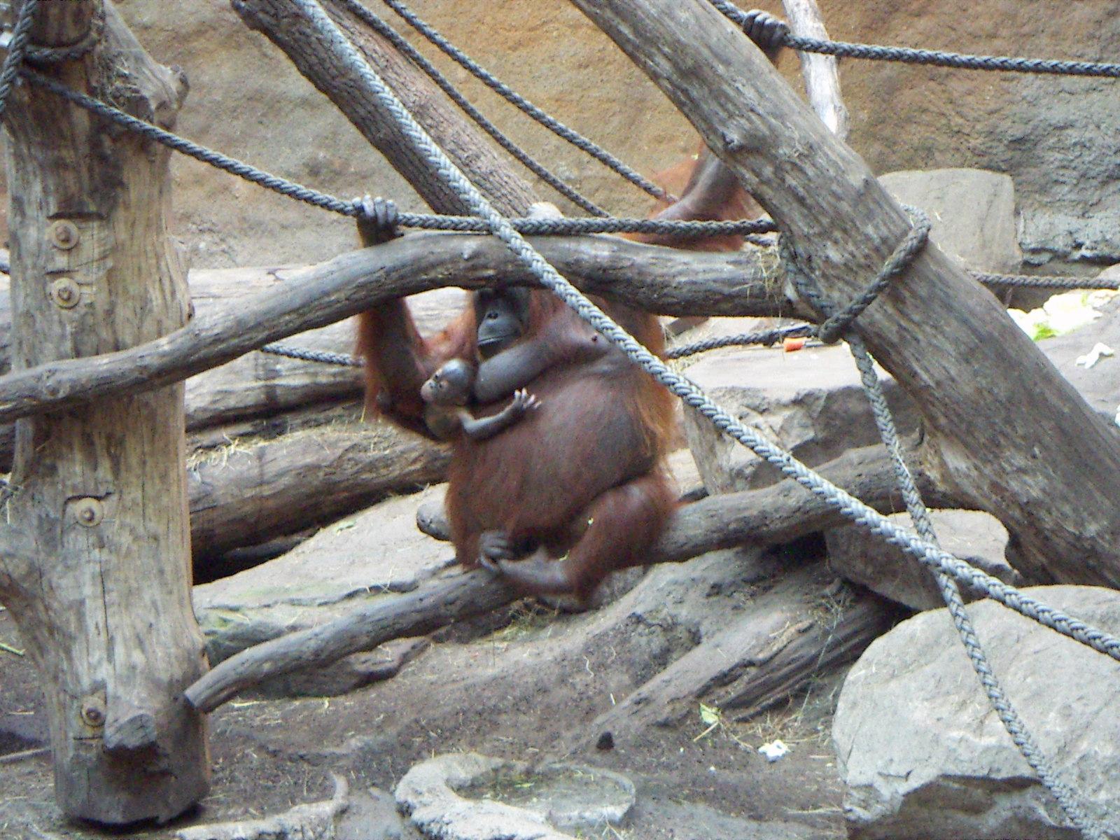 Description orang-utan-baby muenster