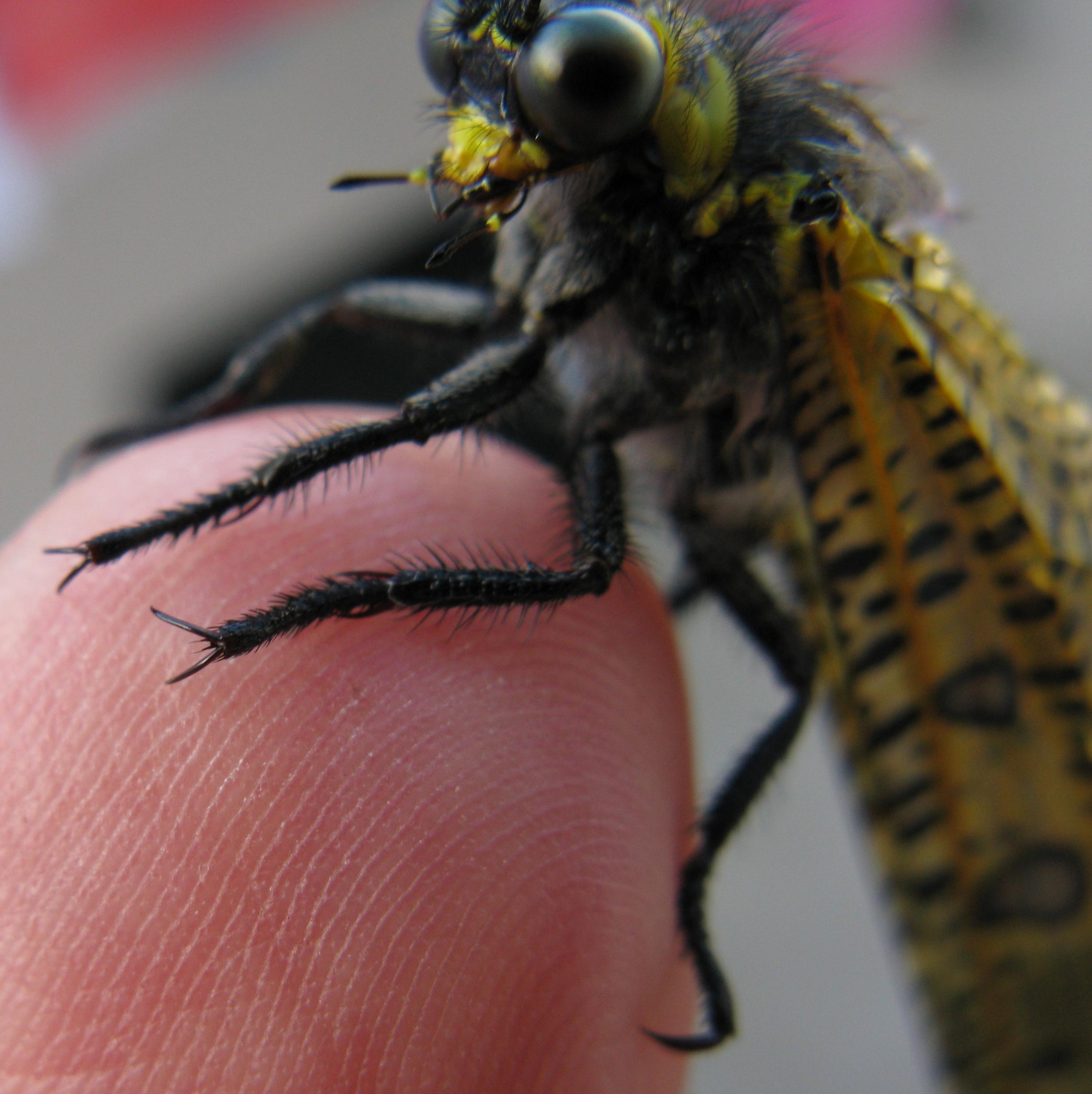 File:Palpares speciosus Myrmeleontidae Adult Feet+trophi.jpg